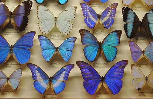 Butterfly collection at AMNH